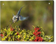 Flying Florida Scrub Jay Photo Acrylic Print