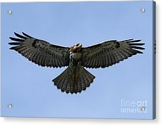 Flying Free - Red-tailed Hawk Acrylic Print by Meg Rousher