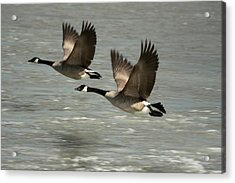 Flying Free Acrylic Print by Frederic Vigne