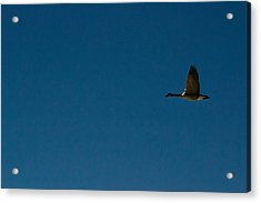 Flying Goose Acrylic Print by Matt Radcliffe