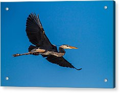 Flying Great Blue Heron Acrylic Print by Andres Leon