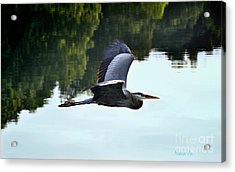 Flying Great Blue Heron Acrylic Print