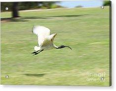 Flying Ibis Acrylic Print