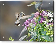 Flying In For A Morning Meal Acrylic Print