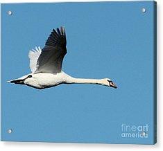 Flying Mute Swan II Acrylic Print