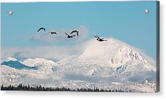 Flying North Acrylic Print by Jan Davies