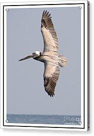 Flying Pelican Acrylic Print by Mariarosa Rockefeller