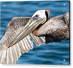 Flying Pelican Acrylic Print