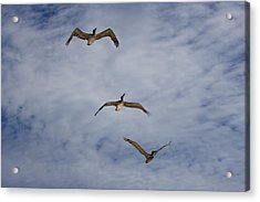 Flying Pelicans Acrylic Print by Genaro Rojas