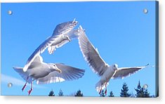 Acrylic Print featuring the photograph Flying Seagulls by Karen Molenaar Terrell