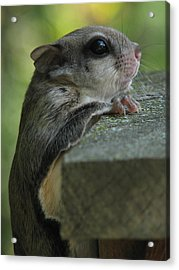 Flying Squirrel Acrylic Print