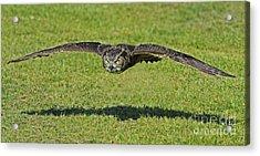 Flying Tiger... Acrylic Print