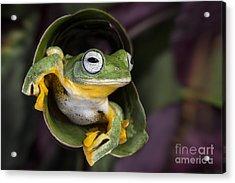 Flying Tree Frog Acrylic Print