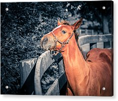 Foal By The Fence Acrylic Print by Alexey Stiop