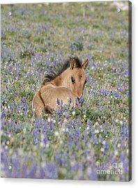 Foal In The Lupine Acrylic Print by Carol Walker