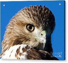 Hawk Eye Acrylic Print by Stephen Flint