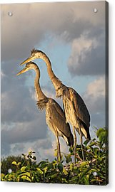 Focused Attention Acrylic Print