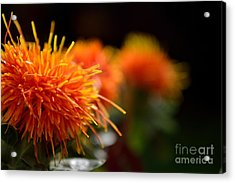 Focused Safflower Acrylic Print