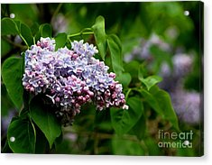 For The Love Of Lilac Acrylic Print
