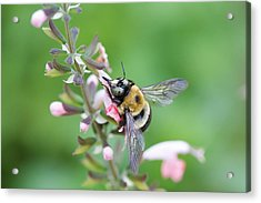 Foraging For Nectar Acrylic Print