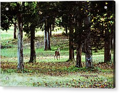 Forest Buck Acrylic Print by Lorna Rogers Photography