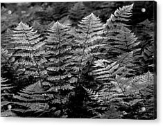 Acrylic Print featuring the  Forest Of Ferns by Haren Images- Kriss Haren