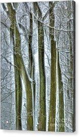 Forest Sentinels Acrylic Print by David Birchall
