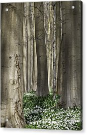 forest spring flowers Anemone nemorosa Acrylic Print by Dirk Ercken