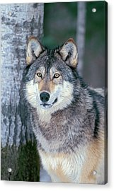 Forest Wolf Acrylic Print