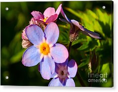 Forget-me-knots Acrylic Print