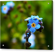 Forget Me Not Bloom Acrylic Print by Chris Berry