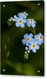 Forget-me-not Cascade Acrylic Print