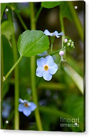 Forget Me Not Acrylic Print by John Chatterley