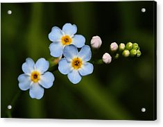 Forget Me Not Acrylic Print by Mike Farslow