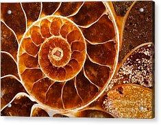 Fossil Nautilus Acrylic Print