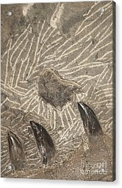 Acrylic Print featuring the photograph Fossil Shark Teeth by Artist and Photographer Laura Wrede