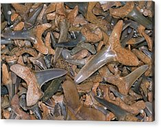 Fossil Shark Teeth Acrylic Print by Sinclair Stammers/science Photo Library