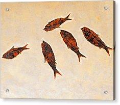 Fossilized Fishbritish Columbia Canada Acrylic Print by Thomas Kitchin & Victoria Hurst