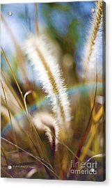 Fountain Grass Acrylic Print