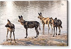 Acrylic Print featuring the photograph Four Alert African Wild Dogs by Liz Leyden