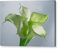 Four Arum Lilies Acrylic Print by Norman Hollands