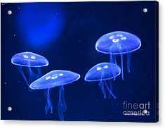 Four Blue Moon Jellyfish Acrylic Print by Artist and Photographer Laura Wrede