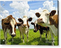 Four Chatting Cows Acrylic Print