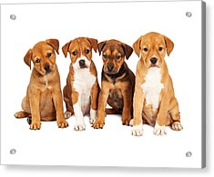 Four Cute Puppies Together Acrylic Print