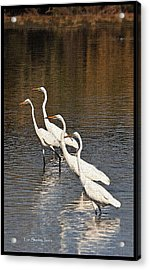 Acrylic Print featuring the photograph Four Egrets Fishing by Tom Janca