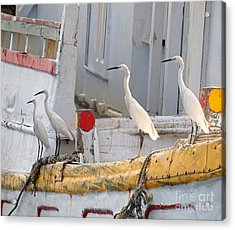 Four Egrets Watch For Fish Acrylic Print