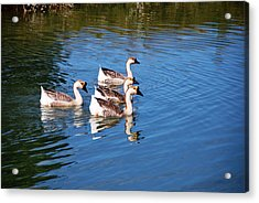 Acrylic Print featuring the photograph Four Geese A Swimming by Linda Segerson