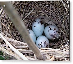 Four Red-winged Blackbird Eggs Acrylic Print by J McCombie