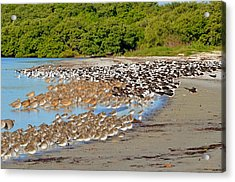 Four Species Of Birds At Roost On Tampa Bay Beach Acrylic Print by Jeff at JSJ Photography