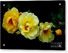 Acrylic Print featuring the photograph Four Stages Of Bloom Of A Yellow Rose by Janette Boyd